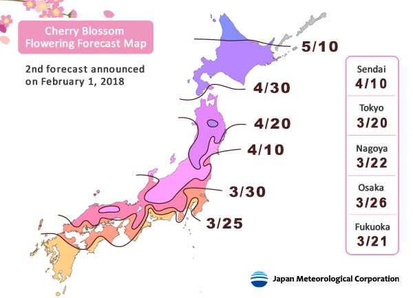 cherry blossom flowering forecast
