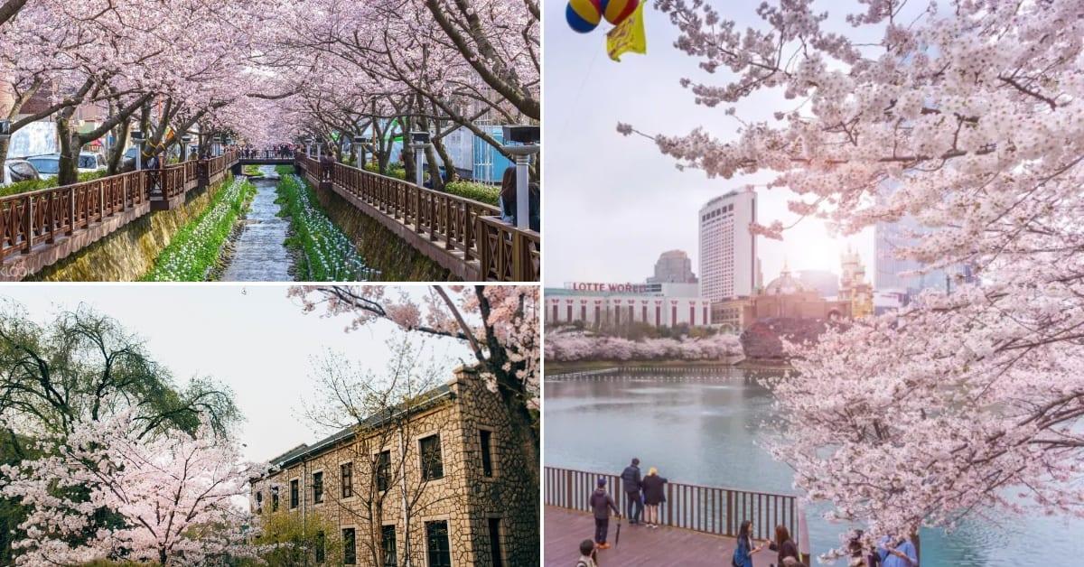 Korea's 2019 Cherry Blossom Forecast 3