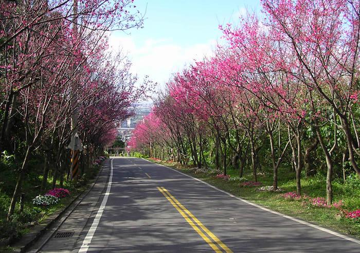 近 年 來 火 紅 的 北 投 櫻 花 隧 道 。 圖 片 來 源 : 北 投 區 公 所。