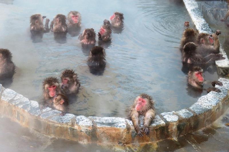 在函館熱帶植物園泡湯的猴群(照片來源:函館市觀光資訊官網https://www.hakodate.travel/cht/)