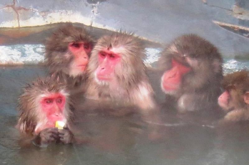 在熱帶植物園泡湯的猴群(照片來源:函館市觀光資訊官網https://www.hakodate.travel/cht/)