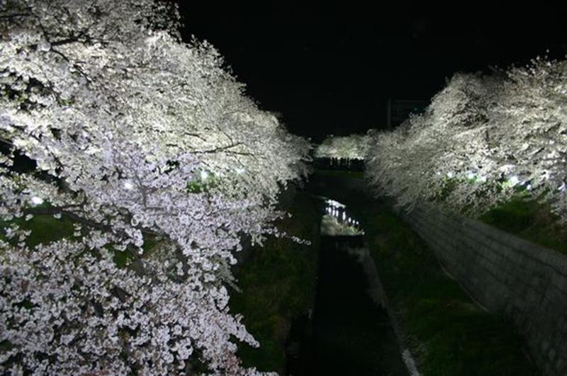 山崎川夜櫻(照片來源:名古屋市政府官網)https://goo.gl/3erUdq