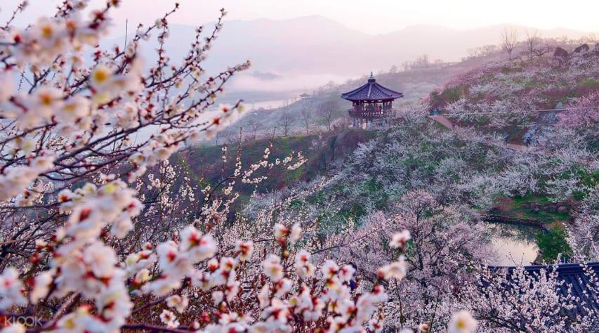 春季欣賞動人的梅花。