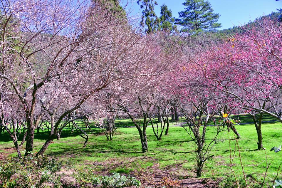 號 稱 全 台 灣 最 美 麗 的 櫻 花 區 「 武 陵 農 場 」 。