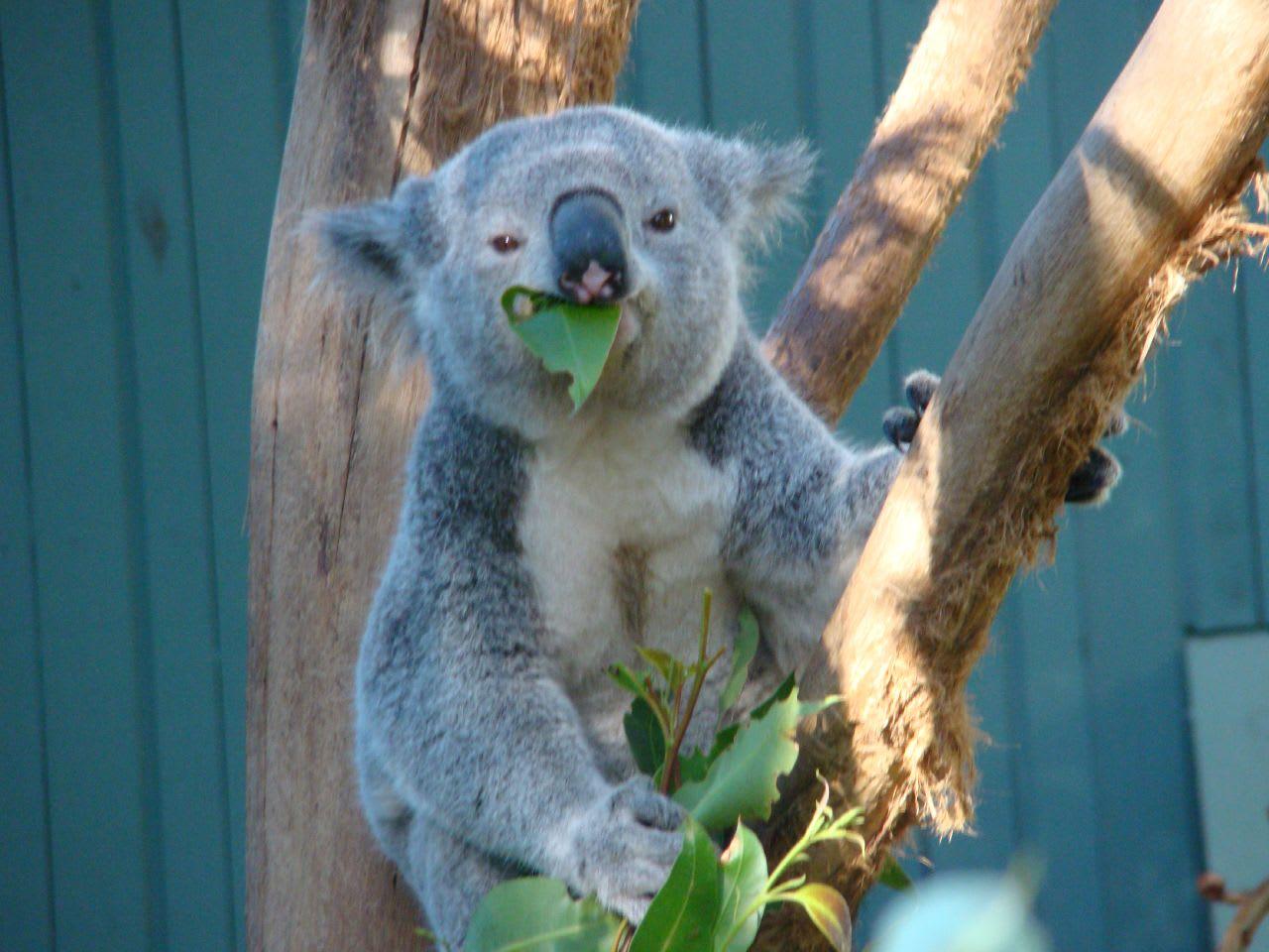 看著無尾熊吃著樹葉的模樣,感覺超級療癒!(Flickr授權作者-Brian Giesen)