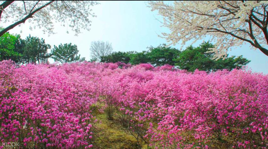 韓國鬱金香節