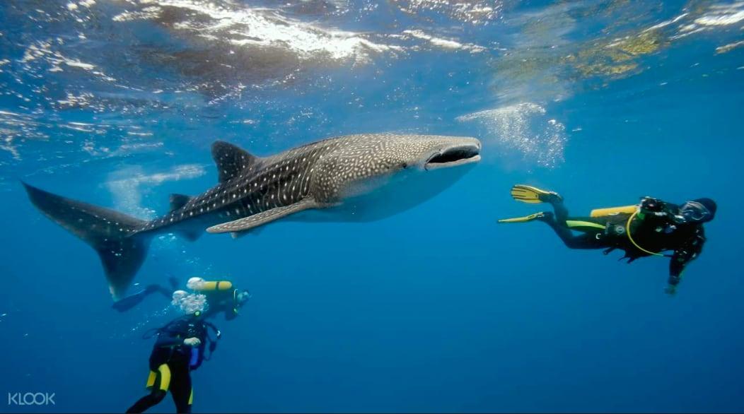 到宿霧Oslob可以與可愛鯨鯊游泳。