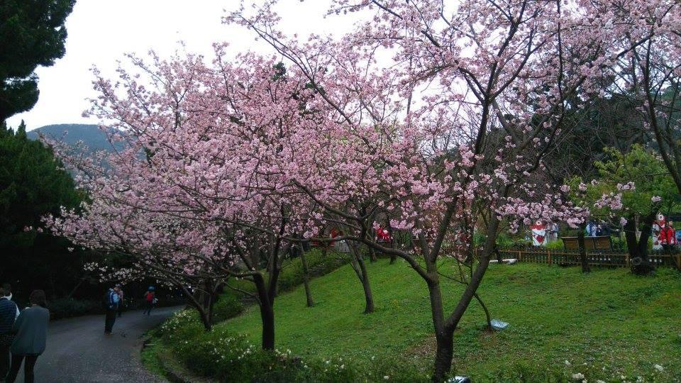 圖 片 來 源 : 陽 明 山 花 季 官 網 。