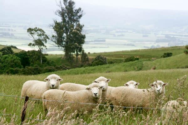 在 紐 西 蘭 羊 口 的 數 量 可 能 還 高 於 人 口 數 !