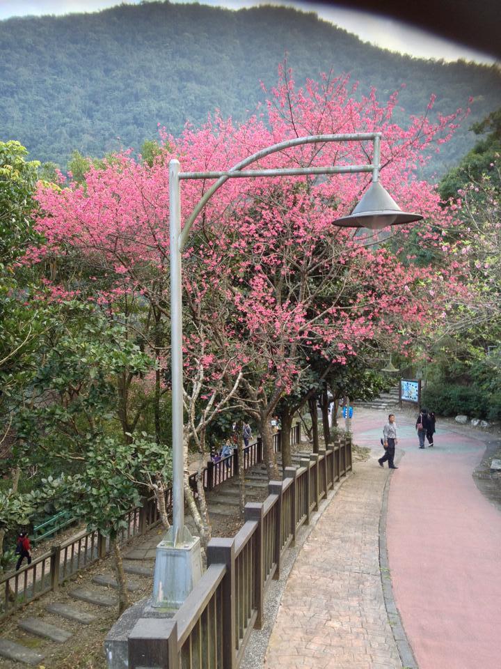 烏 來 的 櫻 花 步 道 。 圖 片 來 源 : Steven Lee。