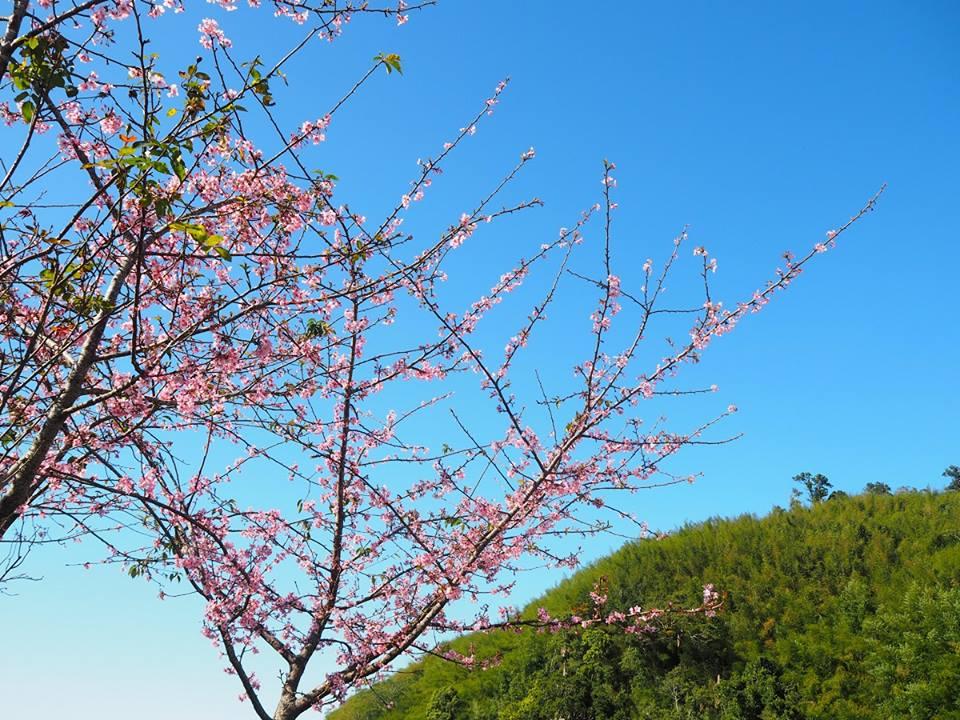 2017櫻花季 阿里山森林遊樂區內以吉野櫻數量最為龐大,第二名則是台灣山櫻花。|圖片來源:阿里山 新印象粉專