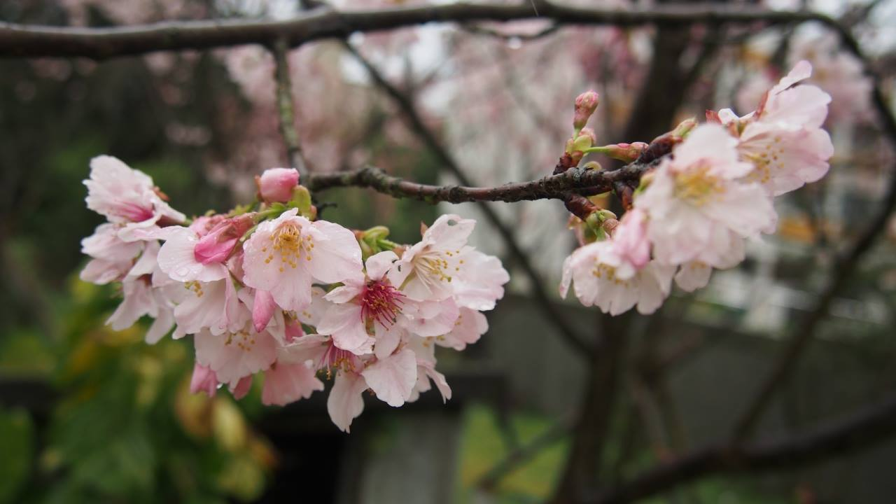 吉野櫻|圖片來源:陽明山花季