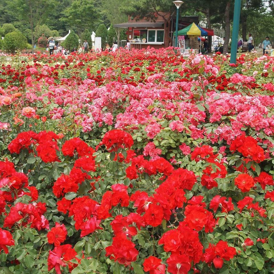 韓國玫瑰節