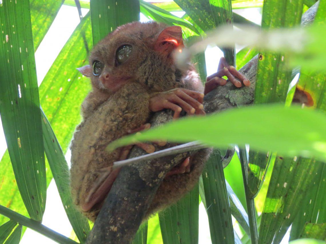 宿霧 眼鏡猴