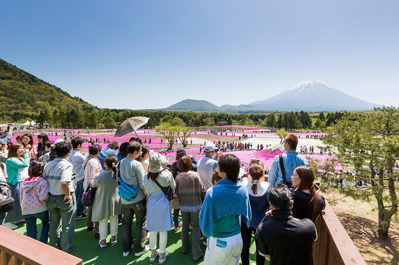 (照片來源:富士芝櫻祭事務局)http://www.shibazakura.jp/chs/