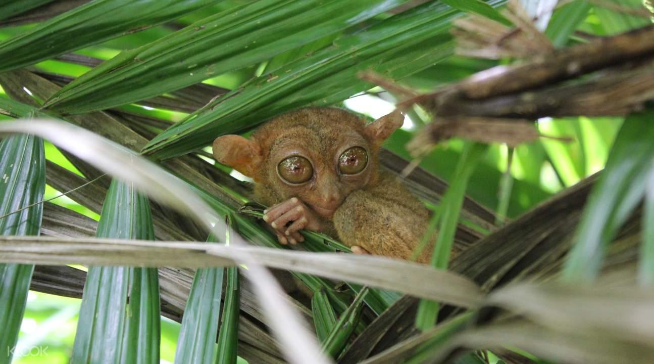 薄荷島一日遊,眼鏡猴體型很小,卻有著大大的雙眼,模樣非常可愛。