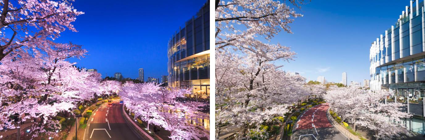 夜晚及白天不同的櫻花景色。(來源:FASHION PRESS)