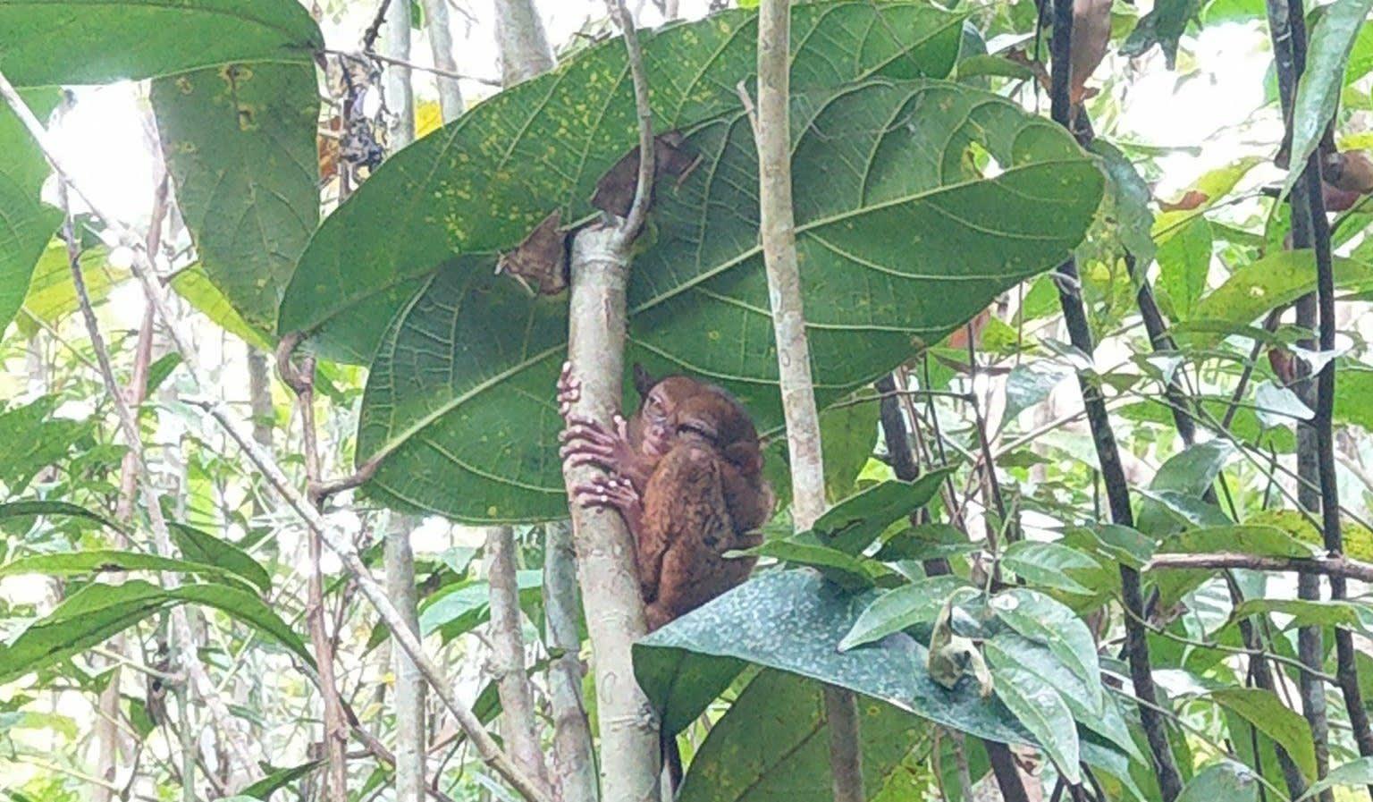 基本上都在休眠的眼鏡猴|圖片來源:Vanessa