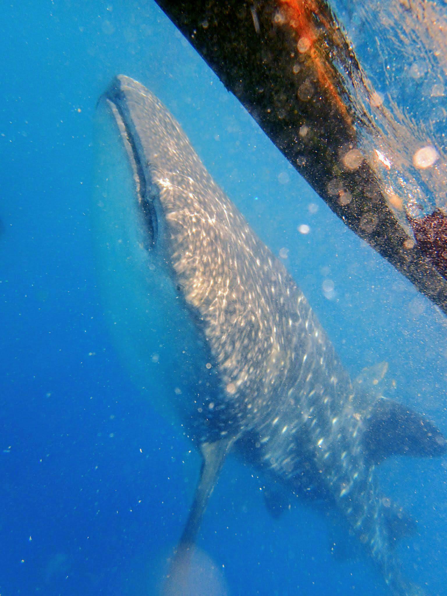 美麗又巨大的鯨鯊|圖片來源:Vanessa