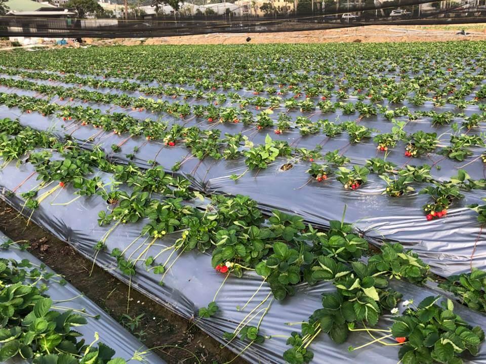 綠葉中點綴著鮮紅草莓!圖片來源:FB@strawberryword
