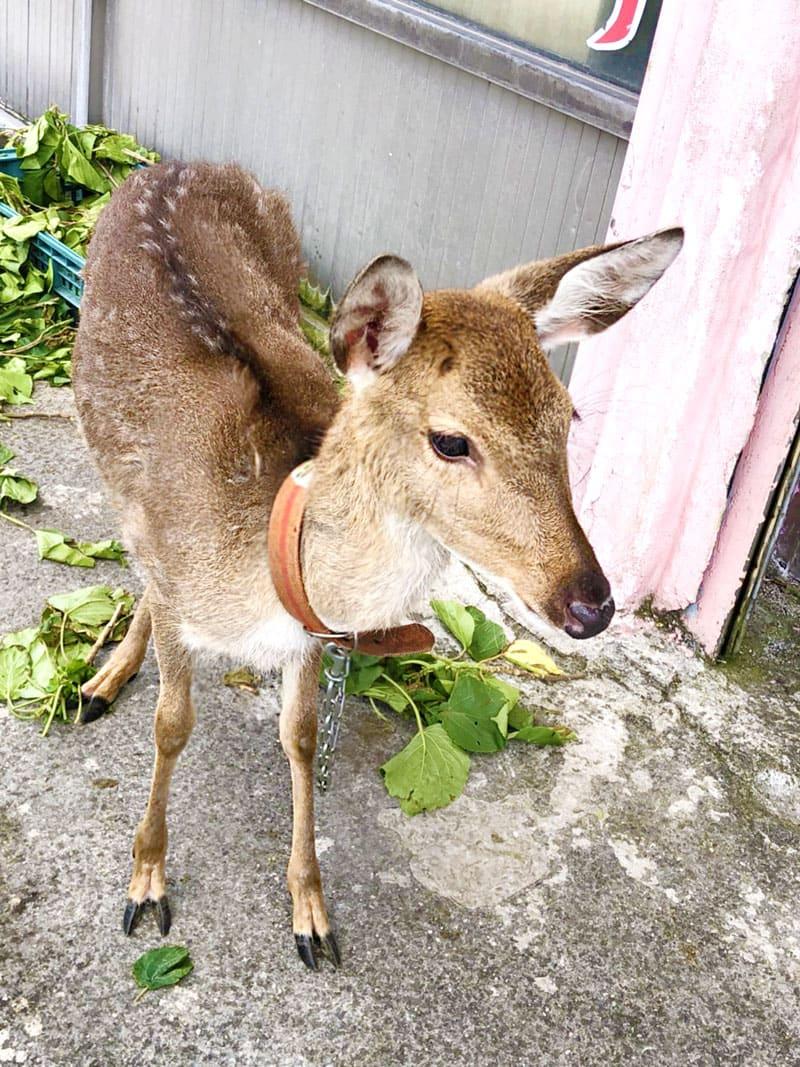 綠島島上時常可見的梅花鹿。