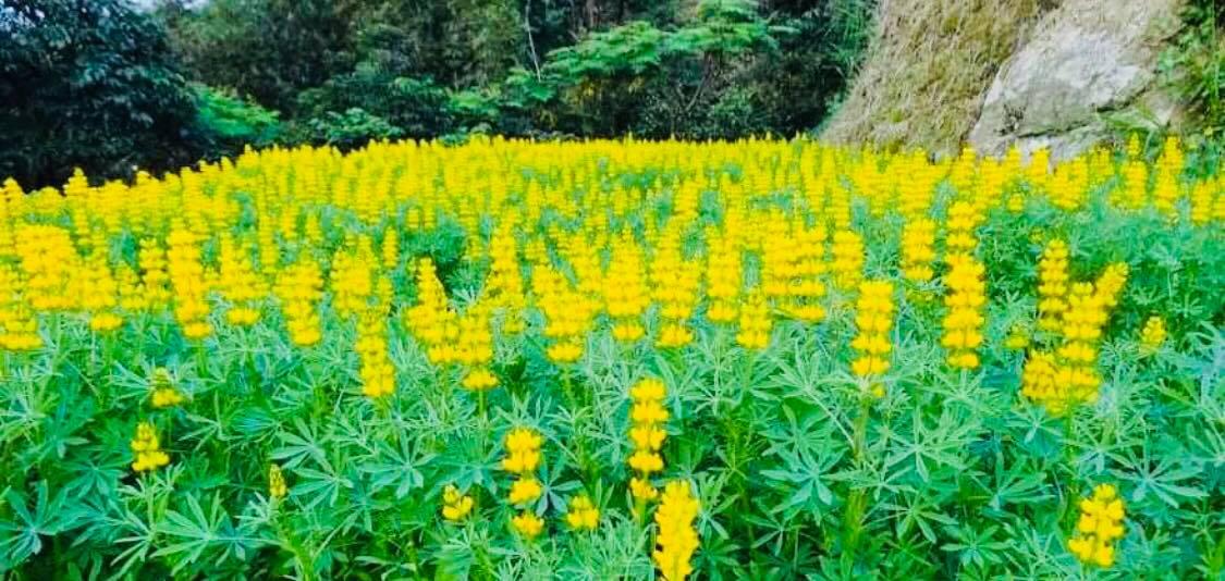 貓空夏季盛開的黃色魯冰花海。