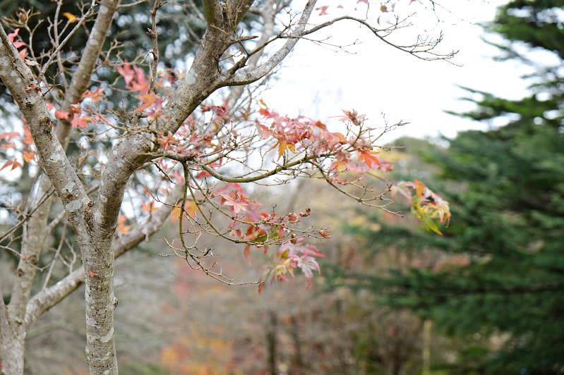 藍山路邊的楓葉