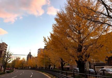 每到秋天就成為金色大道的崛川。圖片來源:吳胖達