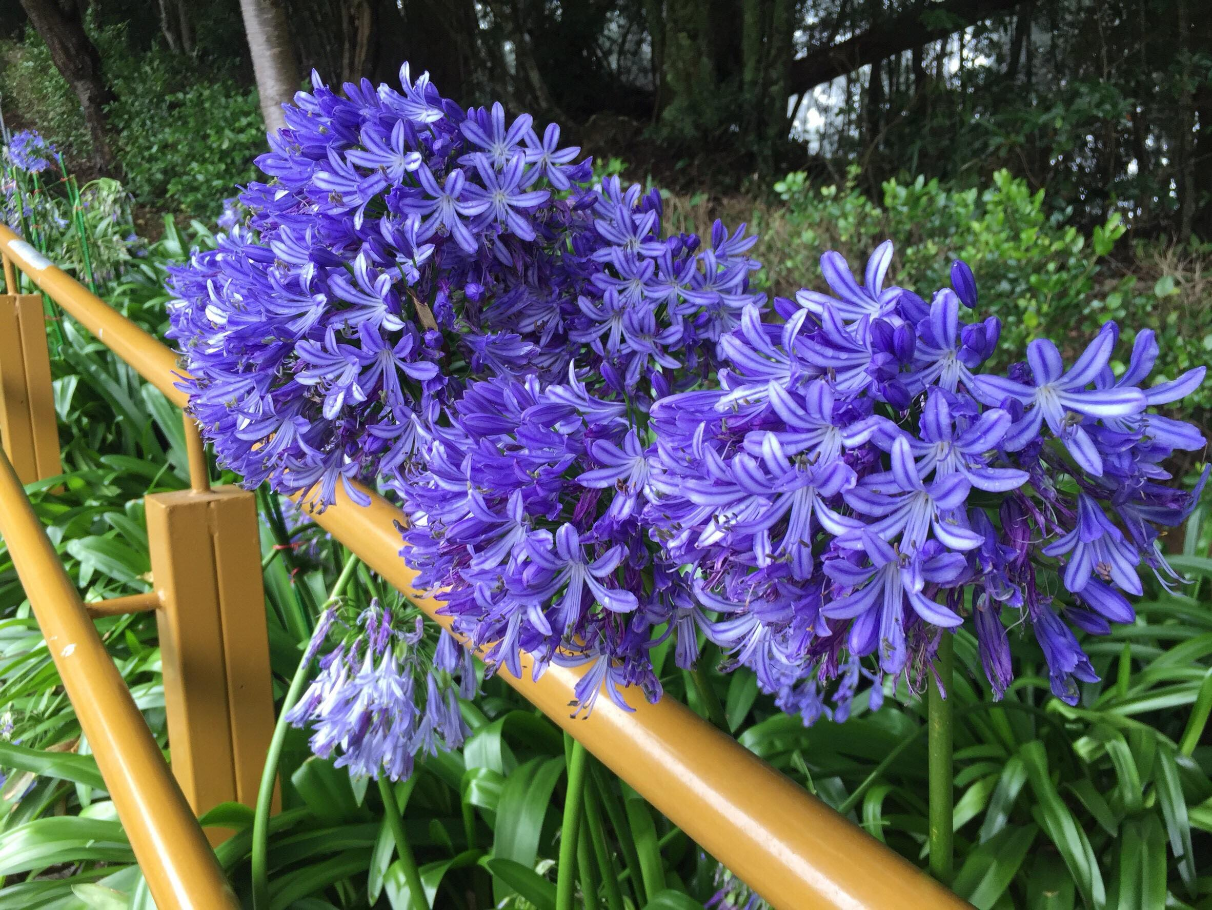 沿途盛開的繡球花。