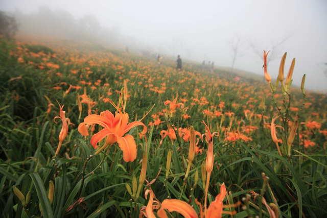 金針山休閒農業區,太麻里金針花海。取自:台東觀光旅遊網