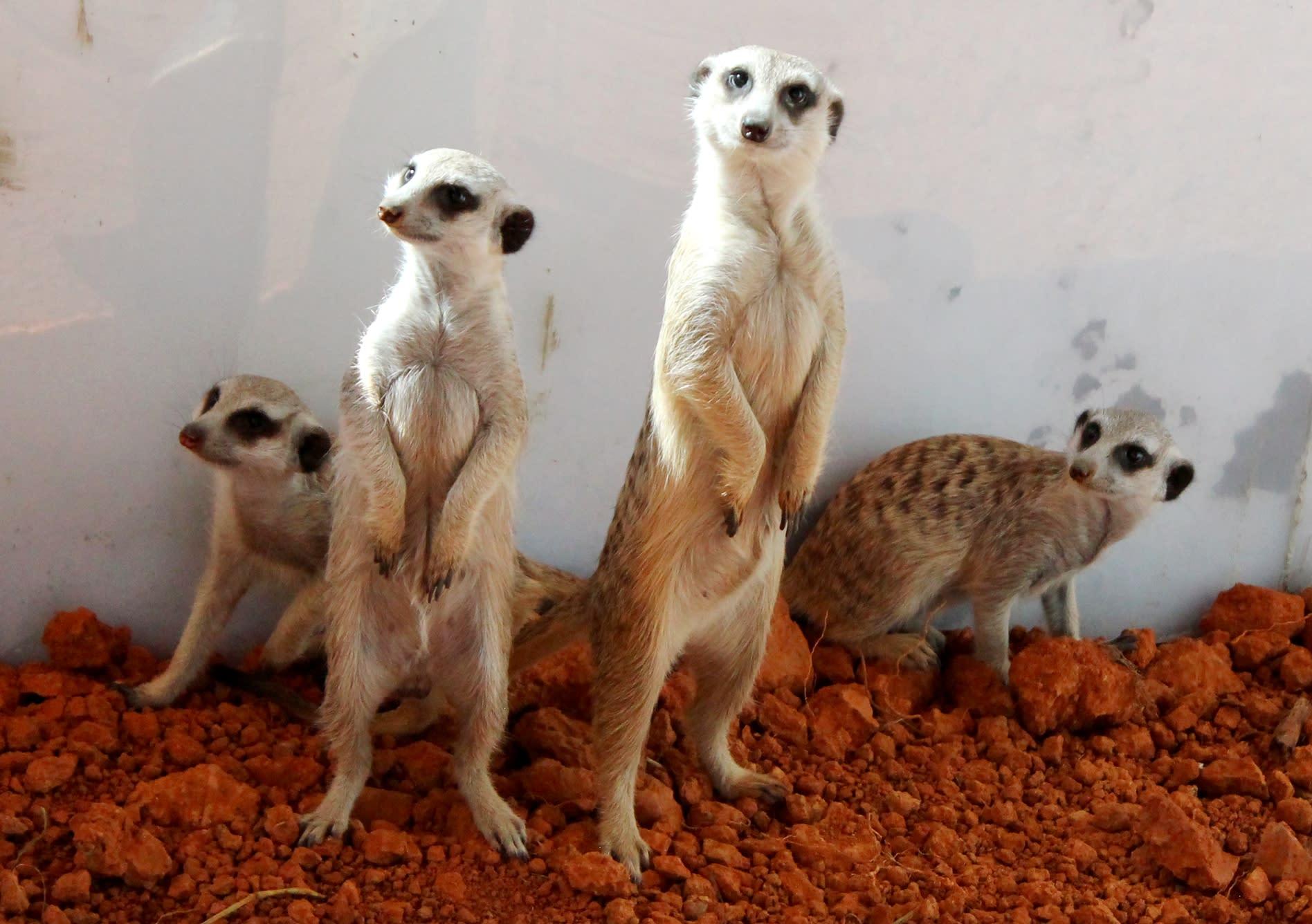 六福村,非洲部落,狐獴家族區。