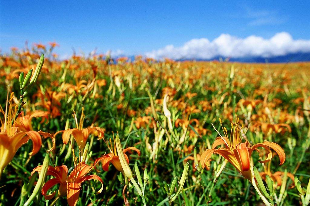 六十石山金針花海,圖片取自:Flickr Yu-Ching Chu