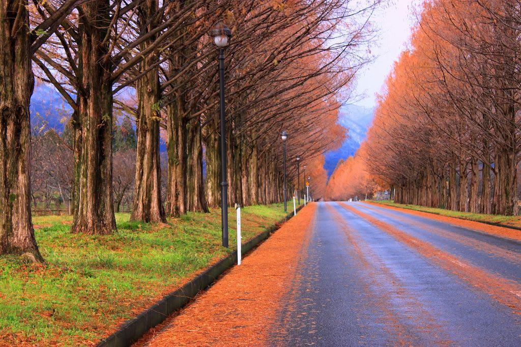 水杉林蔭大道,圖片取自www.jalan.net。