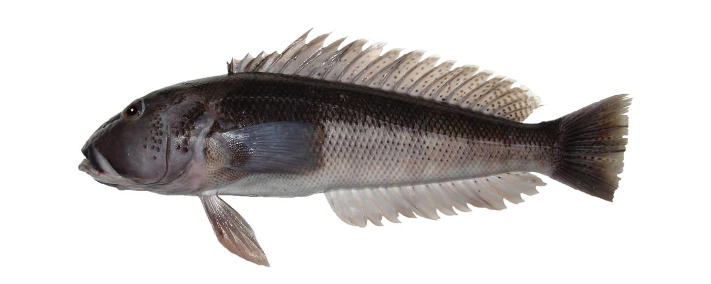 紐西蘭深海藍鱈魚,圖片取自moana.co.nz。