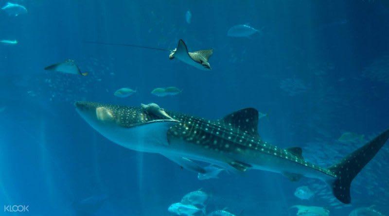 沖繩美麗海水族館,照片來源:KLOOK