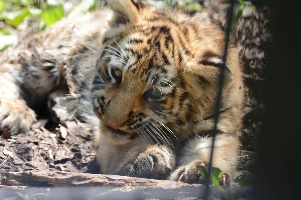 旭山動物園老虎,照片取自:http://photozou.jp/user/top/1703518。