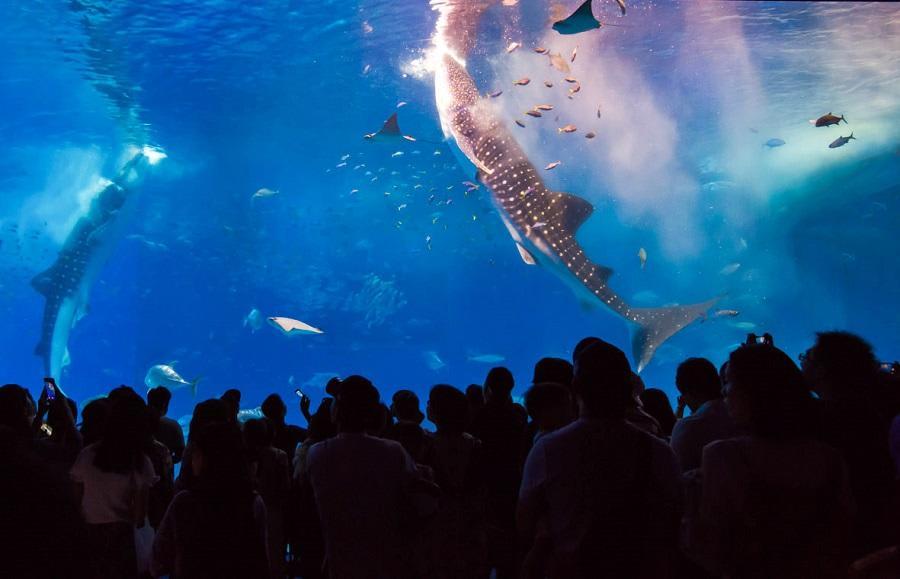 鯨鯊餵食表演 來源:tabirai Japan