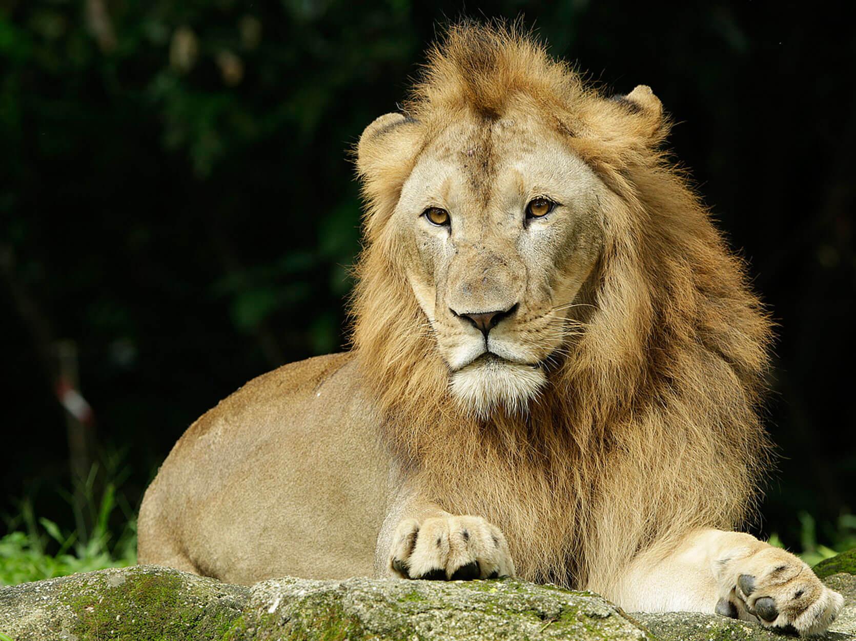 森林之王--獅子,果然就是令人肅然起敬。(圖片取自新加坡動物園官網)