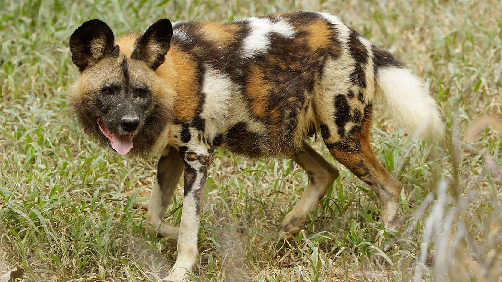 非洲野狗的紋路甚是特別。(圖片取自新加坡動物園官網)