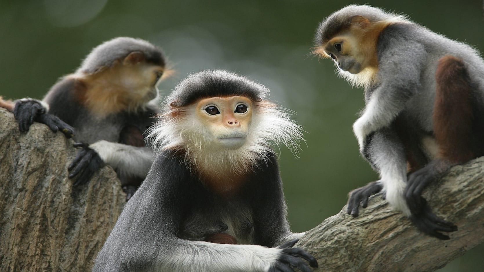 仔細一瞧白臂葉猴跟人臉還真的頗有幾分像。(圖片取自新加坡動物園官網)