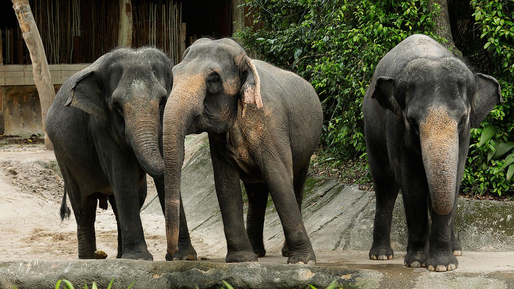 大象既溫馴又聰明。(圖片取自新加坡動物園官網)