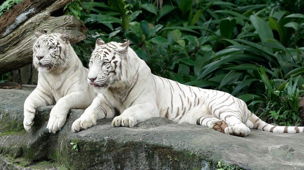 白老虎慵懶的姿態。(圖片取自新加坡動物園官網)
