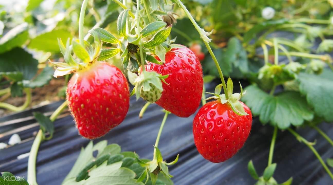 親手採摘鮮甜多汁的新鮮草莓