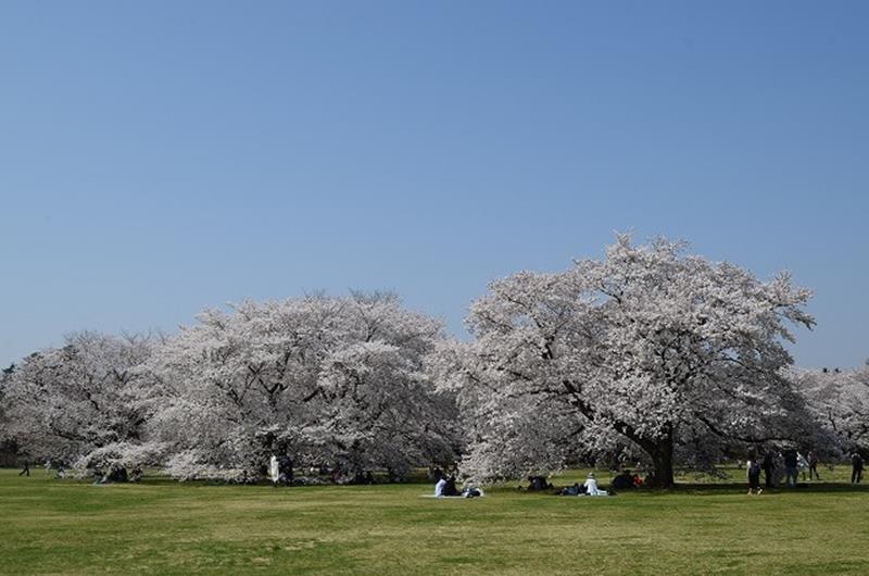 (照片來源:國營昭和記念公園官網)http://www.showakinen-koen.jp/info-flower/