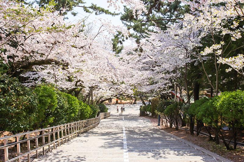 帝皇山公園的櫻花盛開(照片來源:昌原市政廳)https://bit.ly/2M0Cbps