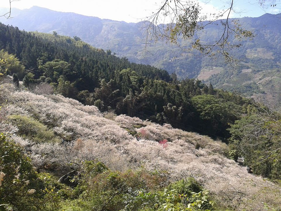 張家堡森林梅園賞梅 來源:fb@張家堡森林梅園