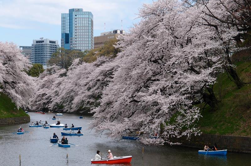往年東京千鳥淵公園的櫻花盛況(照片來源:Pexels)https://bit.ly/2Frffz5