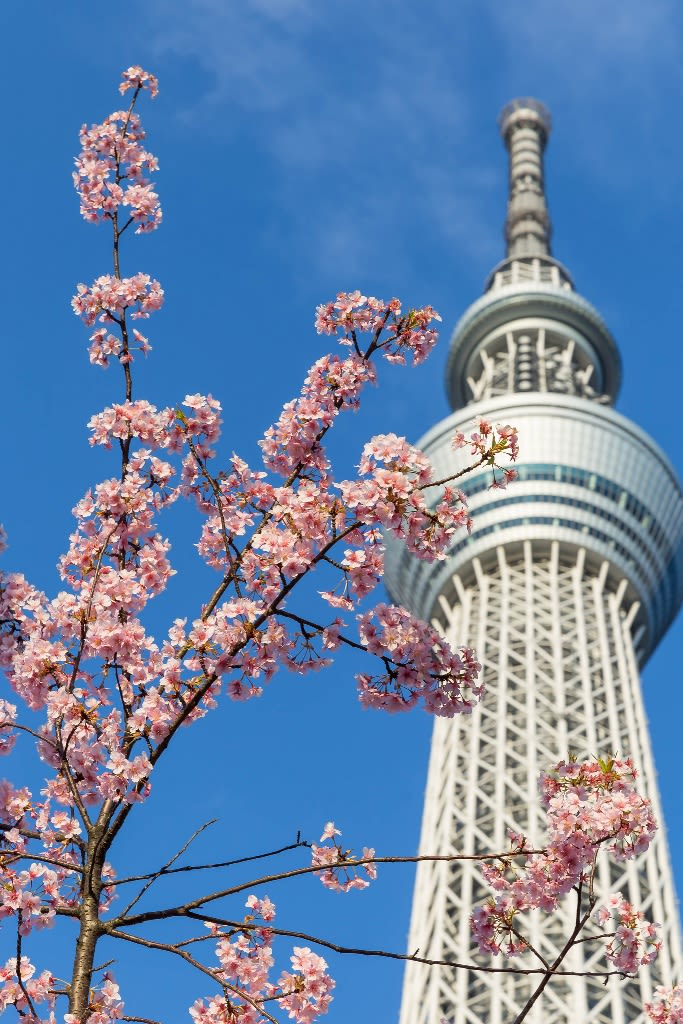 櫻花與晴空塔,Flickr授權作者Marco Verch,http://t.cn/EqXQCgS