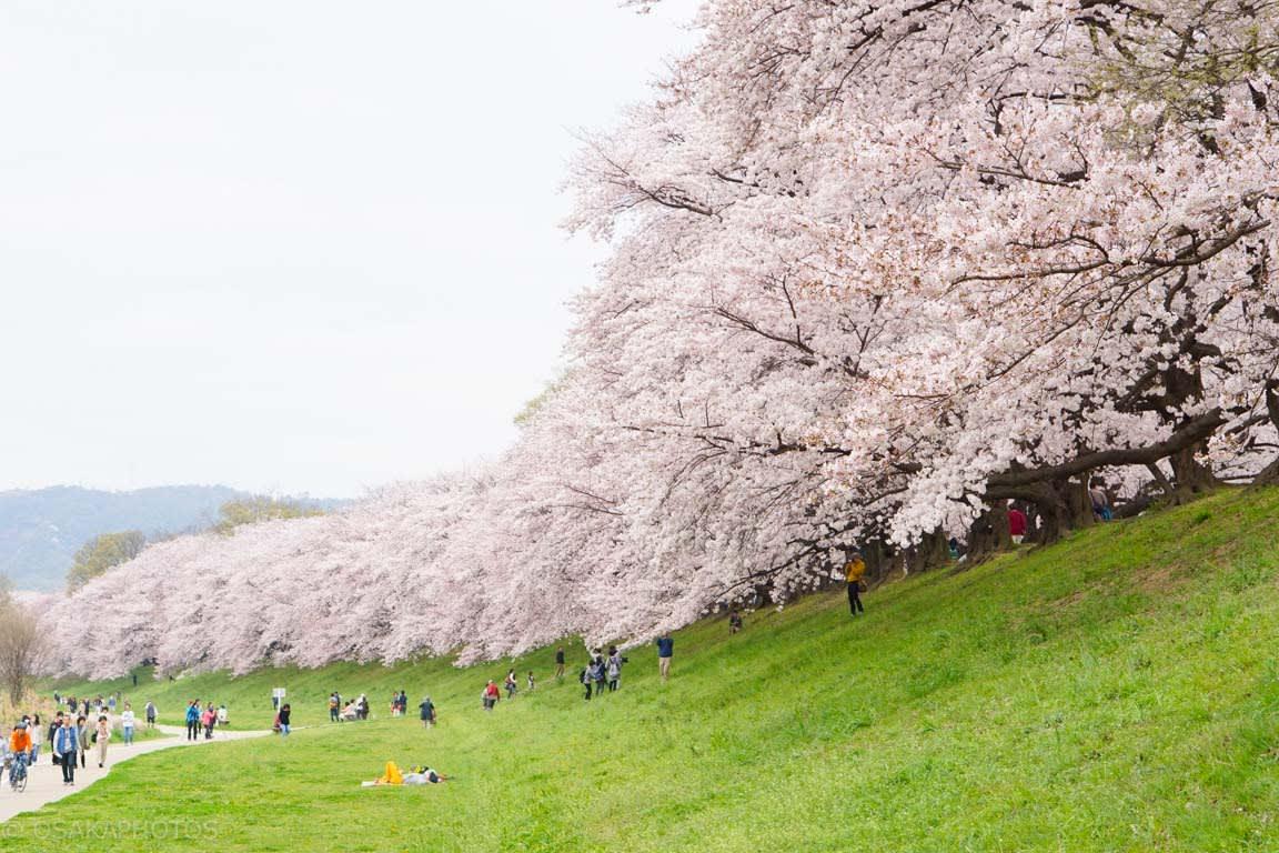 綿延不絕的櫻花樹,讓人猶如置身幸福中。(圖片取自osakaphotos.com)
