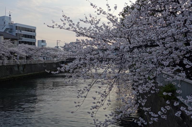 目黒川沿岸櫻花(照片來源:Rubber Soul@Photozou)https://bit.ly/2CpOasd